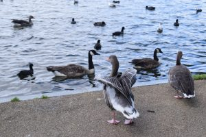 Ducks on Wimbledon Park pond.